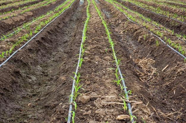 champ-mais-systeme-irrigation-goutte-goutte_1627-3431