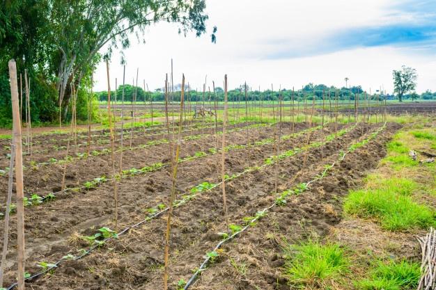 champ-concombre-poussant-systeme-irrigation-goutte-goutte_35355-4306